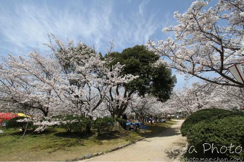 2010湊山公園桜画像