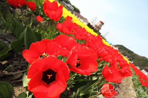伯太町のチューリップ2012画像6