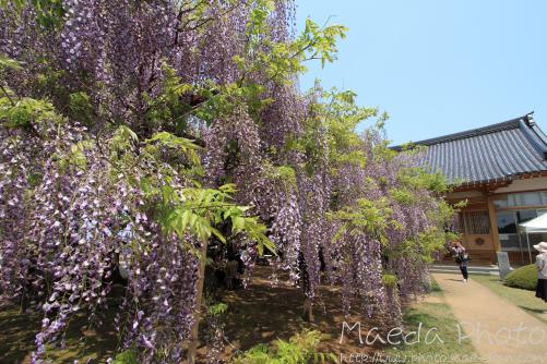 住雲寺の藤2012画像9