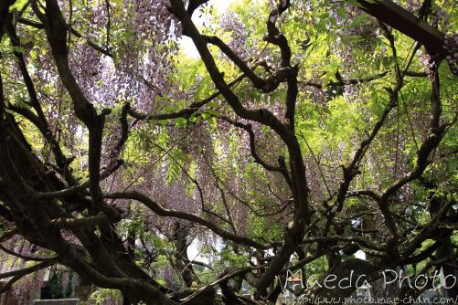 住雲寺の藤2012画像11