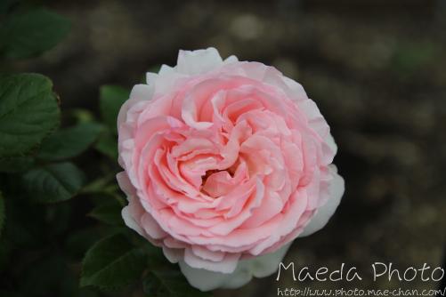 薔薇といえば画像2