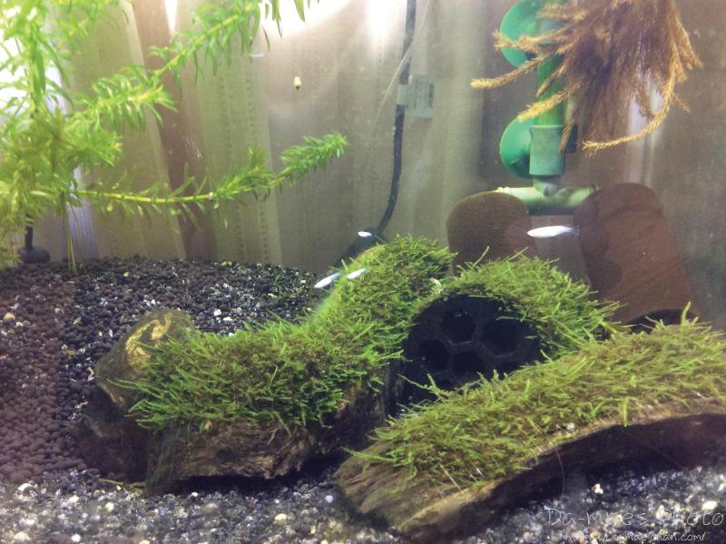 メダカの稚魚本水槽へ画像3