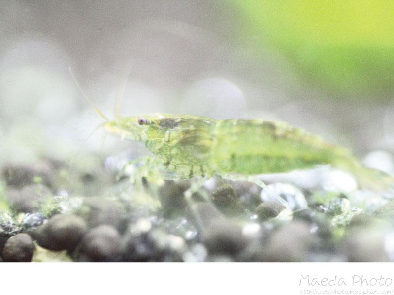 ミナミヌマエビの繁殖画像1