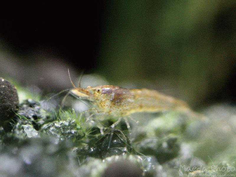 ミナミヌマエビの繁殖画像2