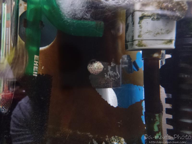 シッタカの苔取り能力画像2