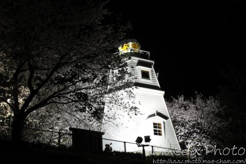 台場公園夜桜1