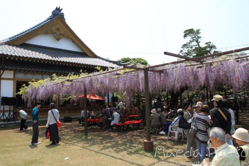住雲寺の藤2012画像2
