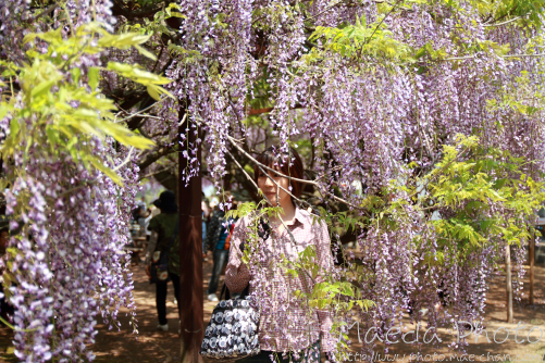 住雲寺の藤2012画像8