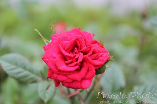 薔薇といえば画像1
