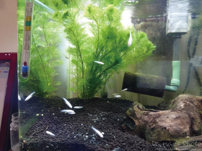 メダカ・ミナミヌマエビ水槽に水草追加画像2